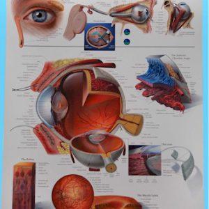 Anatomical Eye Poster-0
